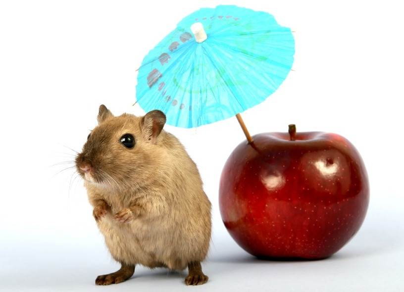 Hamsters Eat Apples